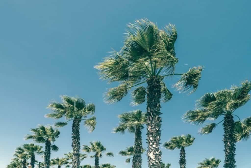 Grandes palmeras sobre cielo azul despejado
