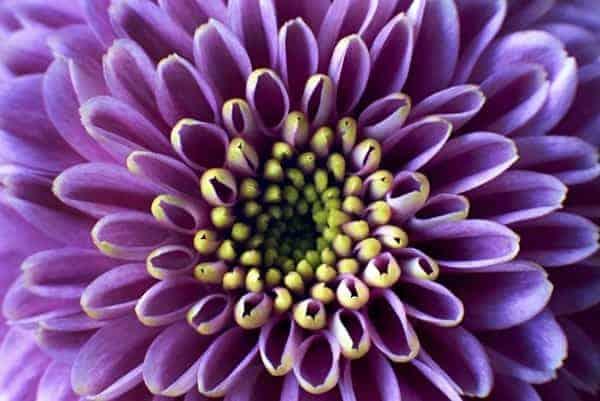 Crisantemo Violeta Closeup